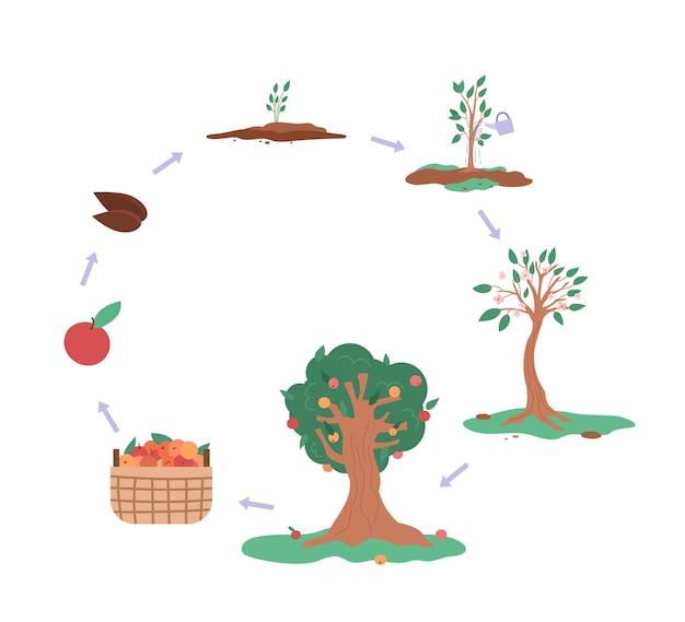 Ciclo de crescimento da ilustração em vetor plana infográfico de macieira isolado