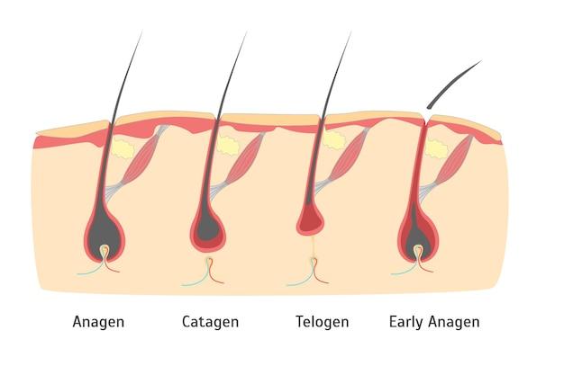 Ciclo de crescimento do cabelo da cabeça humana em corte para cartão, cartaz