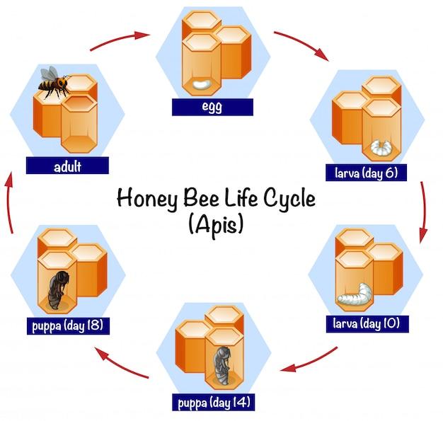 Ciclo de vida da abelha da ciência