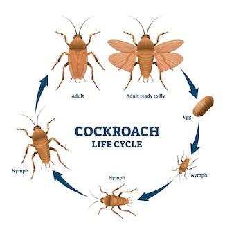 Ciclo de vida de barata, esquema de ilustração