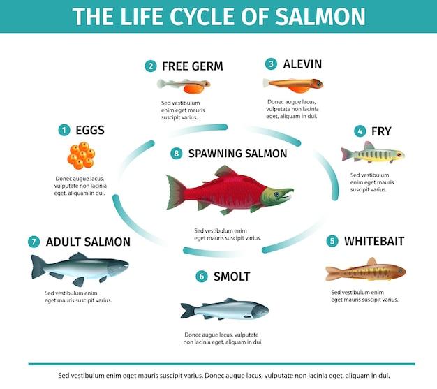 Ciclo de vida de infográficos de salmão