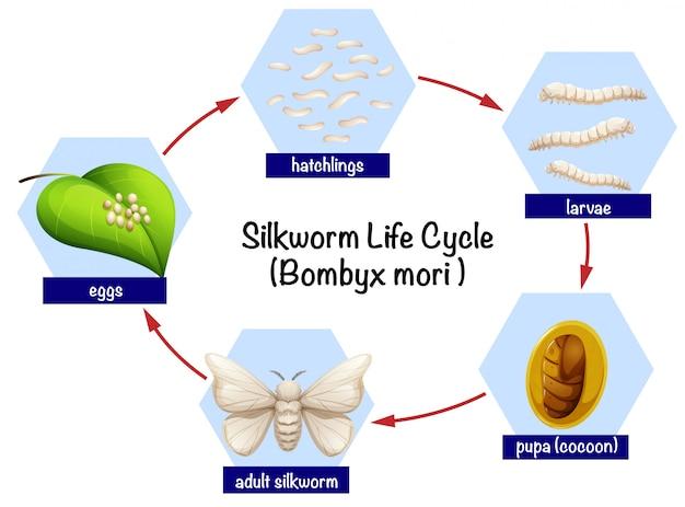 Ciclo de vida do bicho-da-seda da ciência