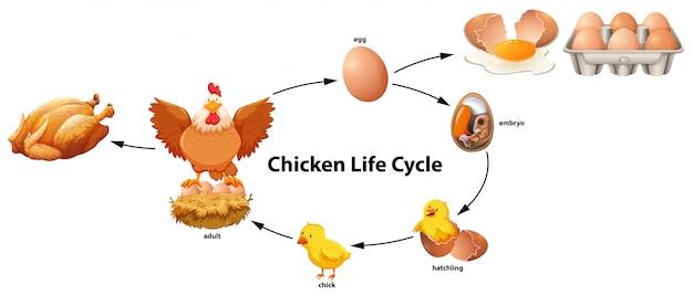 Ciência do ciclo de vida da galinha
