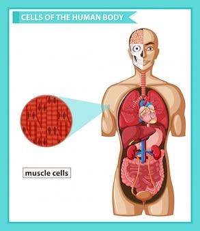 Científica médica, células musculares