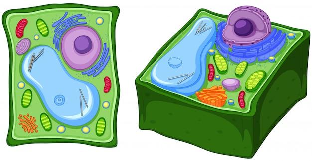 Cima, diagrama, de, planta, célula