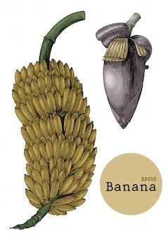 Coleção de banana define mão desenho ilustração gravura vintage