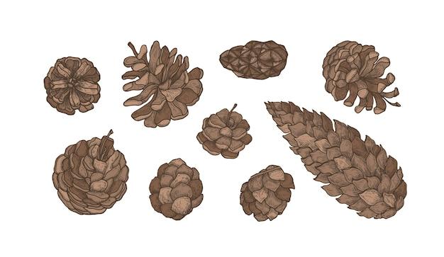 Coleção de cones de árvores coníferas perenes - pinheiros, abetos, lariços