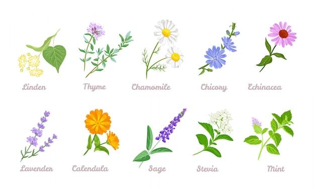 Coleção de ervas e flores medicinais de cura.