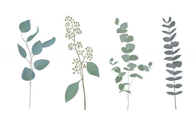 Coleção de folhas de eucalipto