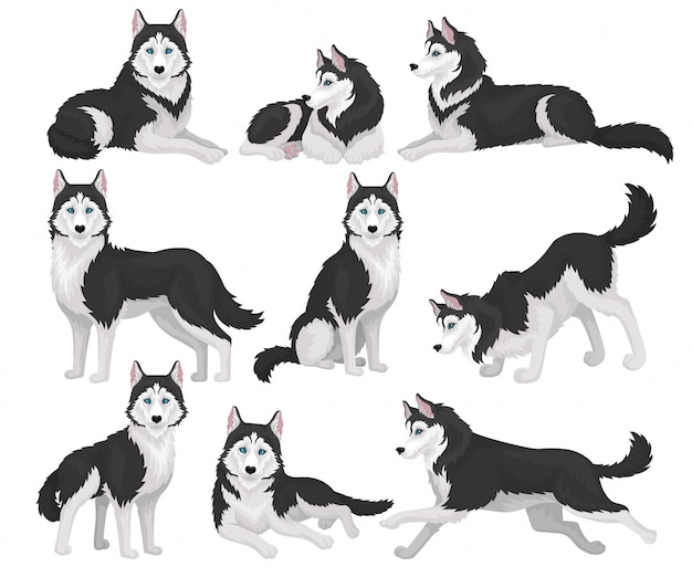 Coleção de husky siberiano em várias poses, animal de cão de raça pura branco e preto com olhos azuis ilustração sobre um fundo branco