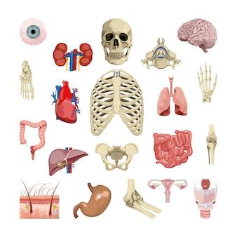 Coleção de órgãos humanos