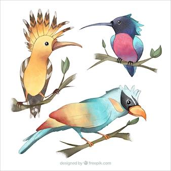 Coleção de pássaros exóticos de aquarela