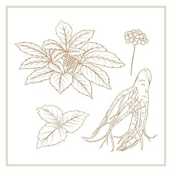 Coleção de planta de ginseng desenhada mão realista
