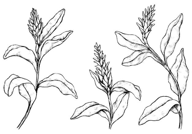 Coleção de plantas tropicais. conjunto de flores de gengibre. esboços botânicos vintage isolados no branco. mão-extraídas ilustração vetorial. elementos de contorno para design, decoração.