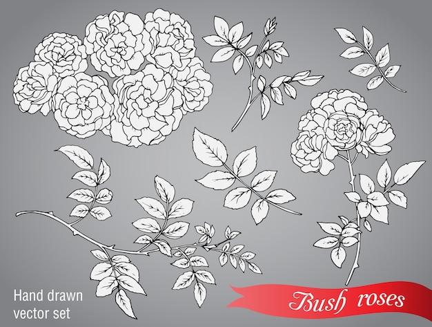 Coleção de rosas de arbusto mão desenhada