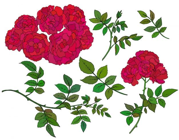 Coleção de rosas de arbusto vermelho mão desenhada