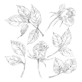 Coleção de rosas de esboço