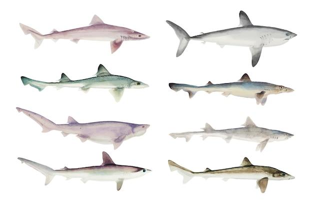 Coleção de tubarões desenhados à mão