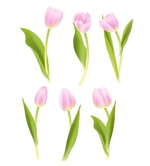 Coleção de vetores tulipa rosa