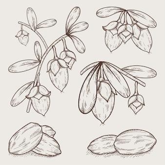 Coleção realista de elementos de jojoba desenhados à mão