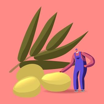 Colheita de plantação, caráter do fazendeiro colhendo azeitonas para a produção tradicional de azeite virgem