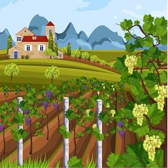 Colheita de vinhedo