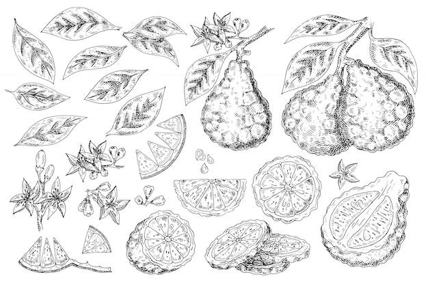 Comida de mão desenhada de bergamota de citrinos.