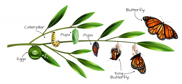 Composição de metamorfose de borboleta