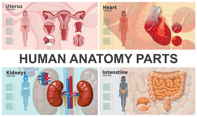 Composição de órgãos humanos dos desenhos animados com mulher silhuetas rins intestino coração anatomia do útero