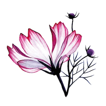 Composição em aquarela de flores de camomila rosa transparente isoladas em branco