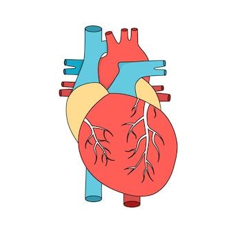 Conceito de cardiologia de ilustração de órgão muscular interno de coração humano anatômico
