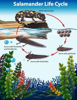 Conceito de ciclo de vida de salamandra