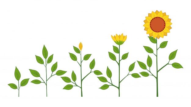 Conceito de fases de crescimento de planta de girassol de vetor