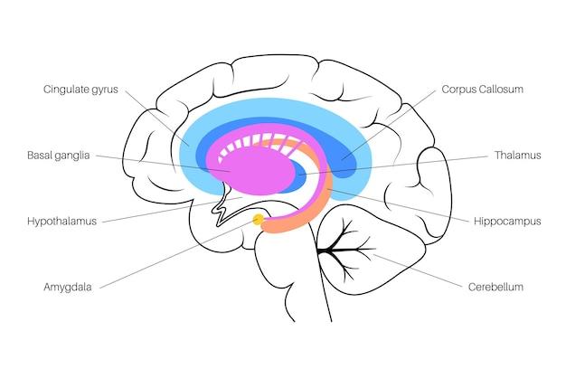 Conceito de sistema límbico e anatomia do cérebro humano. ilustração vetorial de córtex cerebral e cerebelo