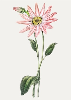 Coneflower-de-rosa