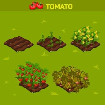 Conjunto 1. fase isométrica de crescimento tomate