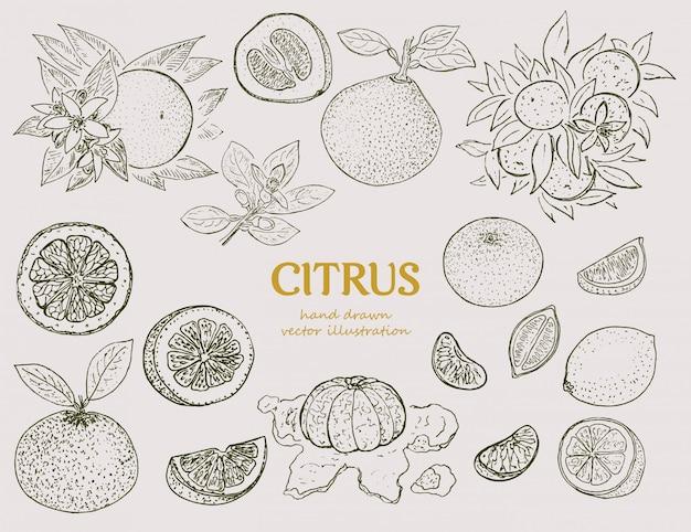 Conjunto botânico cítrico desenhado à mão
