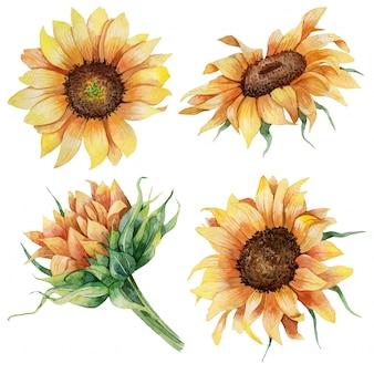 Conjunto botânico em aquarela de girassóis
