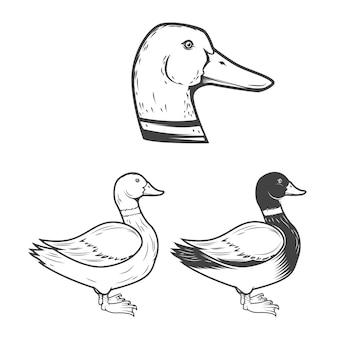 Conjunto das ilustrações de pato em fundo branco. elementos para o logotipo, etiqueta, emblema, sinal, marca, cartaz.