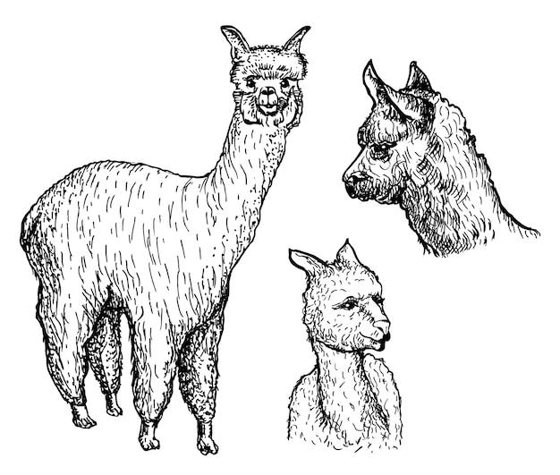 Conjunto de animais de alpaca