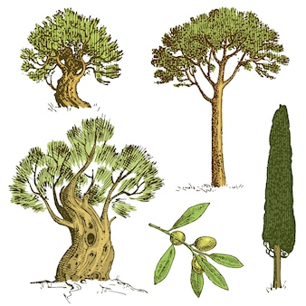Conjunto de árvores de mão desenhada cipreste italiano e pedra pinheiro, pinea, azeitona ilustração vetorial isolado, símbolos gravados do sul, sempre-verdes