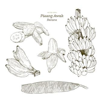 Conjunto de banana pisang awak, esboço de desenhar mão.