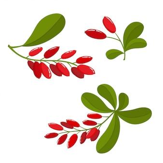 Conjunto de bérberis dos desenhos animados com folhas verdes, isolado no fundo branco, bagas brilhantes e ramo de bagas usado para revista ou livro, design de cartaz e cartão, capa de menu, páginas da web.