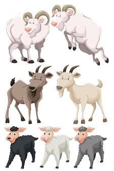 Conjunto de cabras e ovelhas