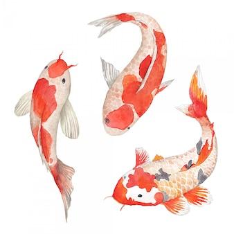 Conjunto de carpa koi aquarela. ilustração de peixe