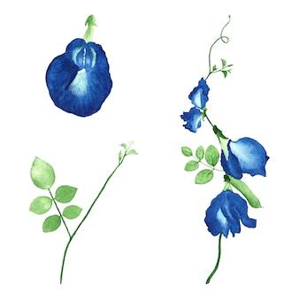 Conjunto de clipart floral de ervilha-borboleta em aquarela