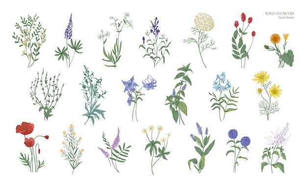 Conjunto de desenhos coloridos detalhados realistas de ervas selvagens do prado, plantas herbáceas, lindas flores desabrochando isoladas no fundo branco. mão-extraídas ilustração vetorial botânica.