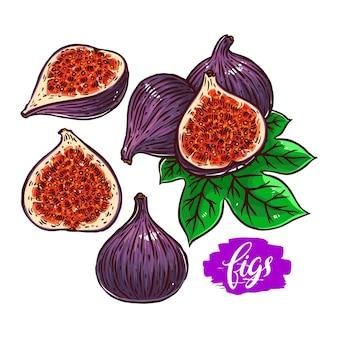Conjunto de diferentes figos maduros coloridos. ilustração desenhada à mão
