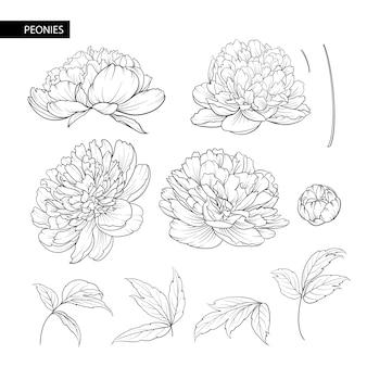 Conjunto de elementos de flores de peônia