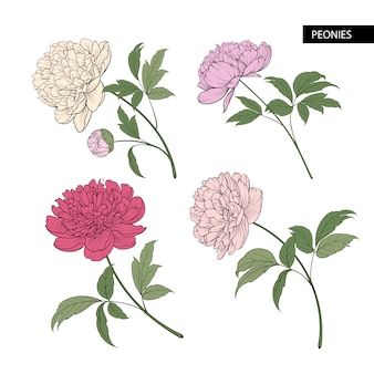 Conjunto de elementos de flores peônia.